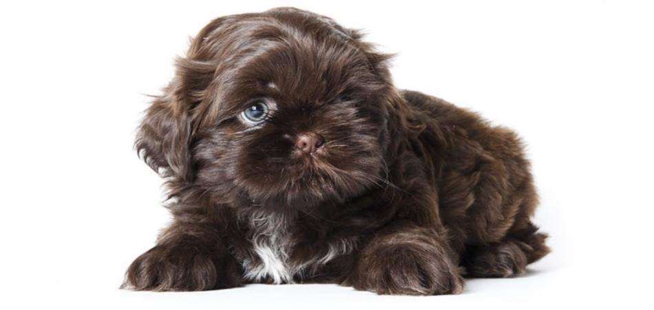 Puppy Zindelijk Maken Shihtzu En Boomer Puppies