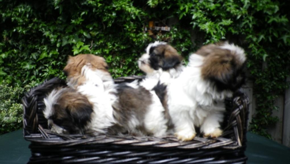 Mooie Boomer Puppie S Verkocht Shihtzu En Boomer Puppies
