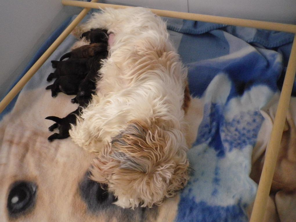 Verkocht Shihtzu En Boomer Puppies