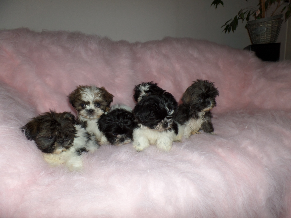 Shih Tzu Puppie S Tekoop Shih Tzu Puppies Shihtzu En Boomer